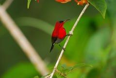 пунцовое sunbird стоковые изображения rf