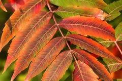 Пунцовый красный цвет Sumac в осени стоковая фотография rf