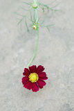 Пунцовый цветок в цветени стоковые фотографии rf