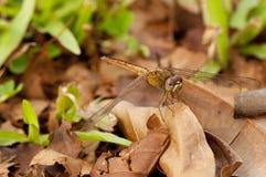 пунцовый dragonfly dropwing Стоковое Изображение RF