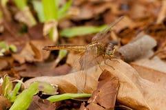 пунцовый dragonfly dropwing Стоковое Изображение