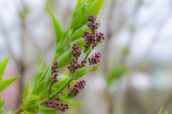 Пурпурная ветвь сирени с зеленым крупным планом листьев стоковые изображения rf