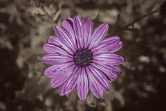 Пурпурная винтажная маргаритка стоковое фото rf