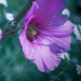 Пурпурная голова цветка в norning весне стоковое фото