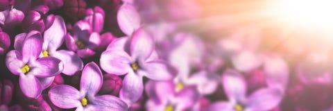 Пурпурная предпосылка цветков сирени стоковая фотография rf
