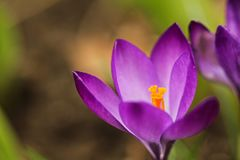 Пурпурное crosus стоковые изображения rf
