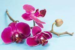 Пурпурное prchid стоковая фотография rf