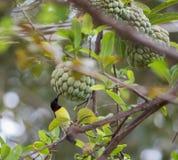 Пурпурное-rumped sunbird стоковые фотографии rf