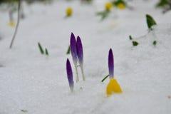 Пурпурные бутоны крокуса и желтый аконит зимы похороненные в снеге стоковые фотографии rf