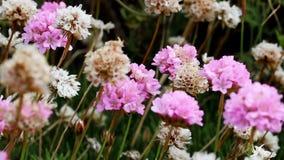 Пурпурные и белые цветки с большой черной и желтой пчелой видеоматериал