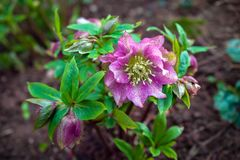 Пурпурные фиолетовые цветки Helleborus зацветая в предыдущей весне в саде стоковое изображение