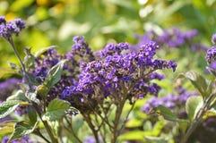 Пурпурные цветки в дикой природе стоковая фотография