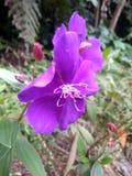 Пурпурные цветки которые зацветают в солнце стоковое фото rf