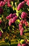 Пурпурные цветки сирени в солнечном свете с листьями стоковое фото rf