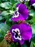 Пурпурные цветки с зелеными листьями стоковое изображение