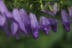 Пурпурные цветки с падениями воды в утре стоковые изображения rf