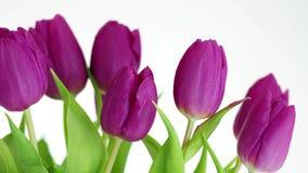 Пурпурные цветки, тюльпаны изолированные на белой предпосылке видеоматериал