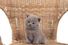 Пурпурный великобританский котенок сидя в плетеном стуле и взглядах прочь стоковые изображения
