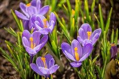 Пурпурный крокус на flowerbed стоковые фото