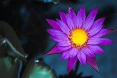 Пурпурный лотос стоковые фото