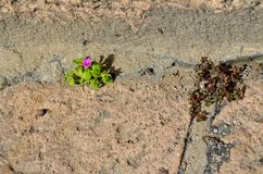 Пурпурный мини расти цветка на тропе стоковые изображения