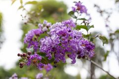 Пурпурный мирт Crape, Lagerstroemia, цветене сирени цветка Crape индийское в саде стоковая фотография