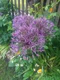 Пурпурный фейерверк стоковое фото rf