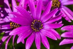 Пурпурный цветок в саде; Ecklonis Osteospermum Весенний сезон стоковая фотография