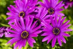 Пурпурный цветок в саде; Ecklonis Osteospermum Весенний сезон стоковые фотографии rf