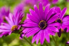 Пурпурный цветок в саде; Ecklonis Osteospermum Весенний сезон стоковые изображения
