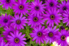 Пурпурный цветок в саде; Ecklonis Osteospermum Весенний сезон стоковые фото