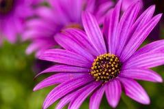 Пурпурный цветок в саде; Ecklonis Osteospermum Весенний сезон стоковая фотография rf