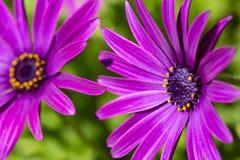 Пурпурный цветок в саде; Ecklonis Osteospermum Весенний сезон стоковое изображение