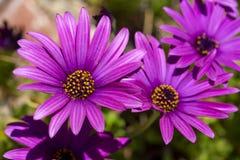 Пурпурный цветок в саде; Ecklonis Osteospermum Весенний сезон стоковое изображение rf