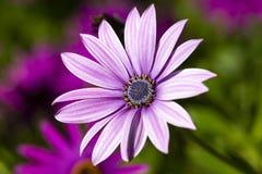 Пурпурный цветок в саде; Ecklonis Osteospermum Весенний сезон стоковые изображения rf
