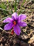 Пурпурный цветок крокуса на почве стоковые фото