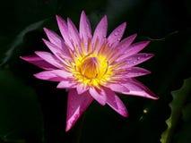Пурпурный цветок лотоса полное цветение, очень красивое стоковые фотографии rf