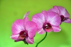 Пурпурный цветок орхидеи луны стоковые фотографии rf