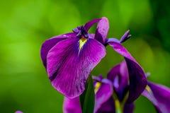 Пурпурный цветок с желтым центром на зеленой предпосылке стоковое фото