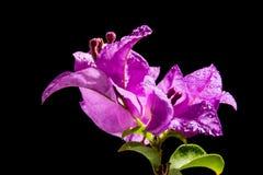 Пурпуровая бугинвилия Стоковое фото RF