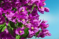 Пурпуровая бугинвилия Стоковая Фотография
