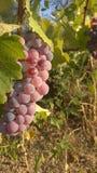 Пурпуровая виноградина Стоковые Фотографии RF