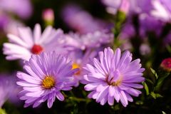 Пурпуровая деталь цветка Стоковые Фотографии RF