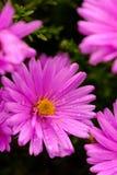 Пурпуровая деталь цветка Стоковая Фотография RF