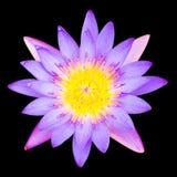 Пурпуровая лилия воды стоковые изображения rf
