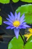 Пурпуровая лилия воды Стоковое фото RF