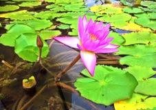 Пурпуровая лилия воды Стоковые Изображения