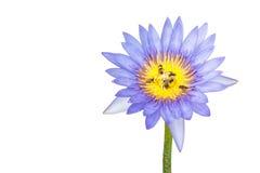 Пурпуровая лилия воды Стоковые Фото