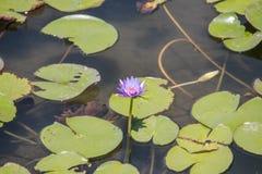 Пурпуровая лилия воды Стоковые Фотографии RF