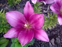 Пурпуровая лилия Стоковое Фото